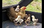 دجاجة ومجموعة من الكتاكيت