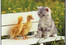 قصة القطة الصغيرة والبطتين