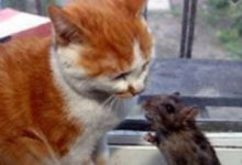 القط المحتال وملك الفئران