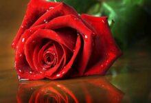 وردة حمراء دلالة على الحب.