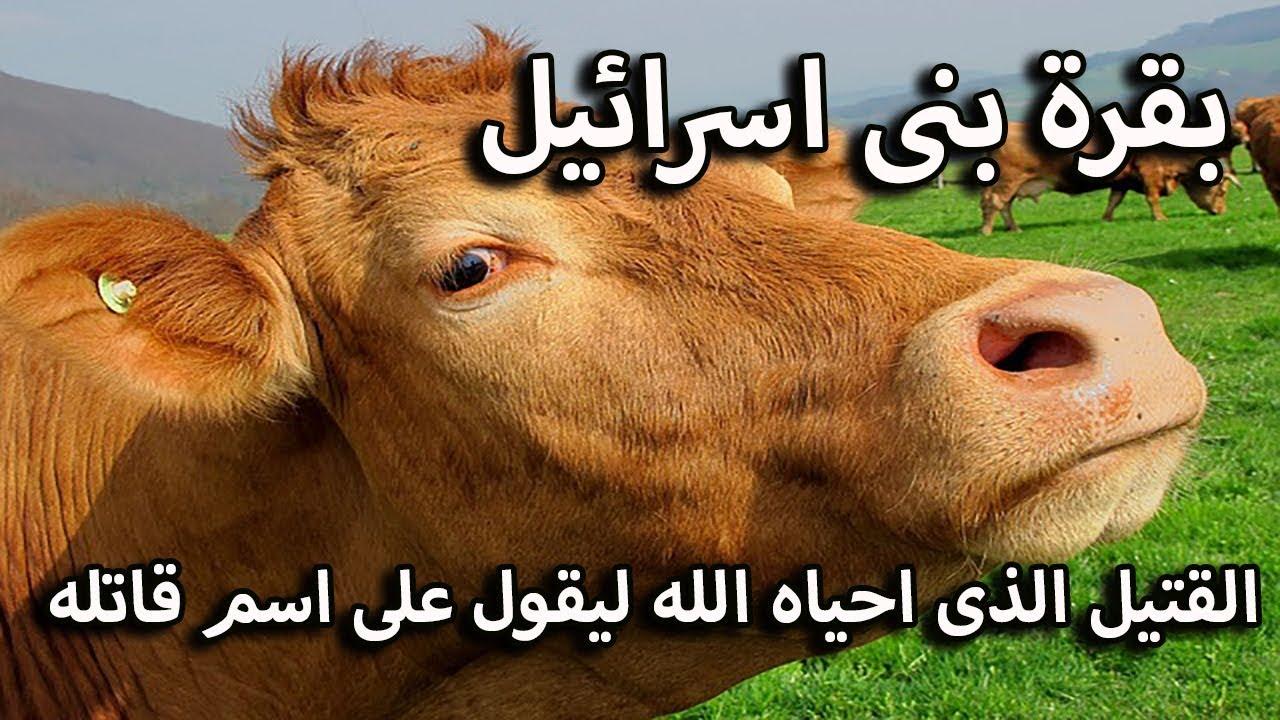 البقرة التي أحياها الله بعد موتها لتكشف عن سر القاتل.