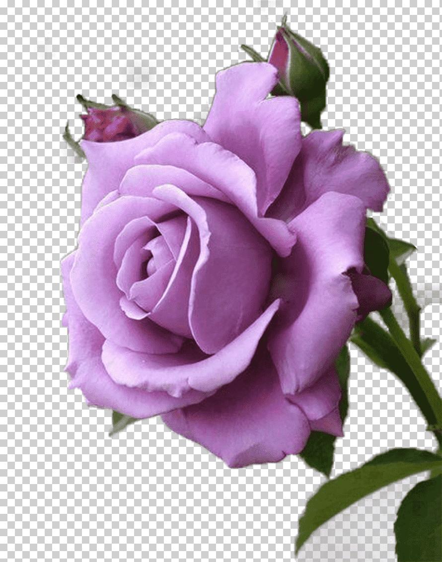 صورة وردة جميلة للغاية