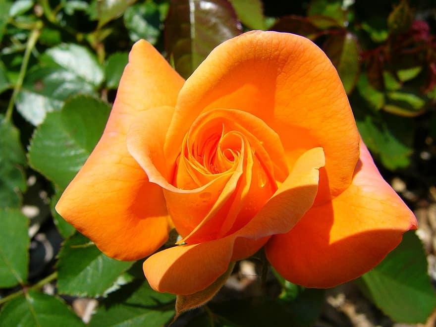 صورة وردة برتقالية اللون